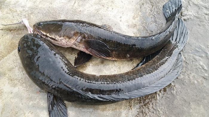 Theo các chuyên gia giải mã giấc mơ thì hầu hết những chiêm bao liên quan đến cá chuối đều đem lại may mắn