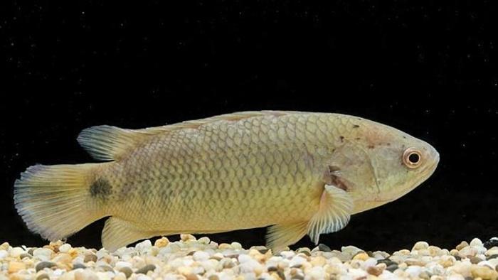 Cá rô hay còn được biết đến với tên gọi khoa học là cá Pecca