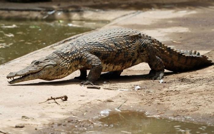 Hình ảnh cá sấu này muốn nói lên chuyện tình cảm của người mơ ở hiện tại