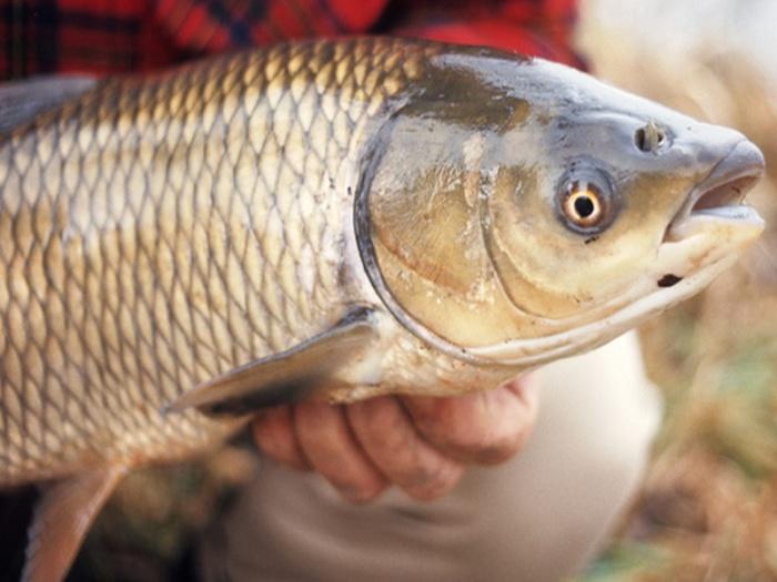 Mơ thấy cá trắm có thể ảnh hưởng đến cuộc sống, công việc hiện tại