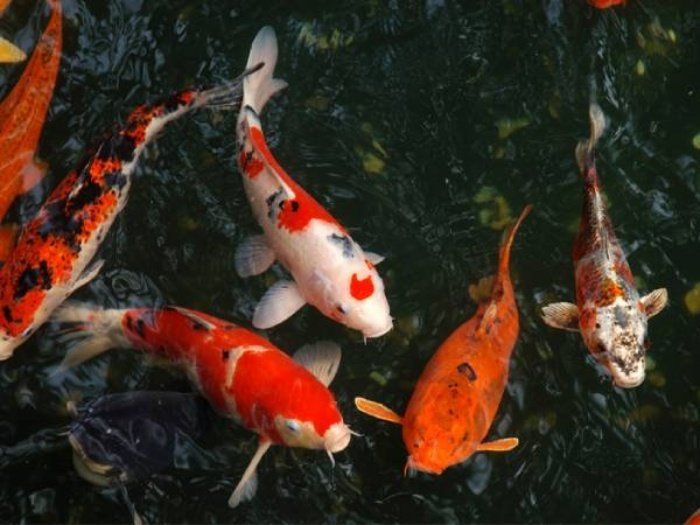 Điềm báo mơ thấy cá sẽ xoay quanh cuộc sống hàng ngày của chính chủ nhân
