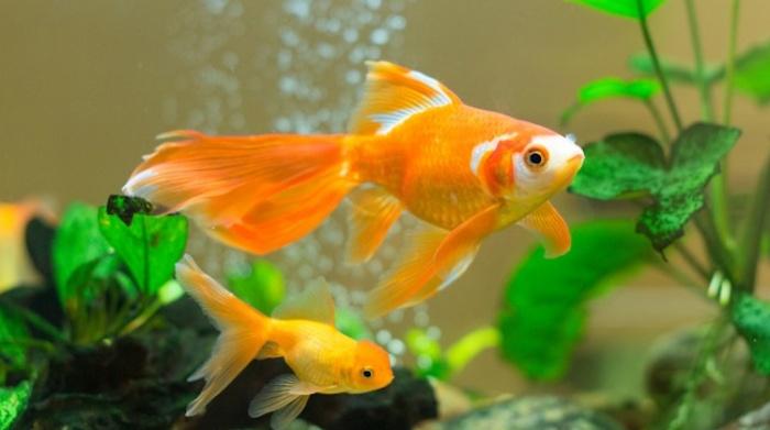 Hình ảnh cá vàng mang tới cho chủ nhân thật nhiều tài lộc
