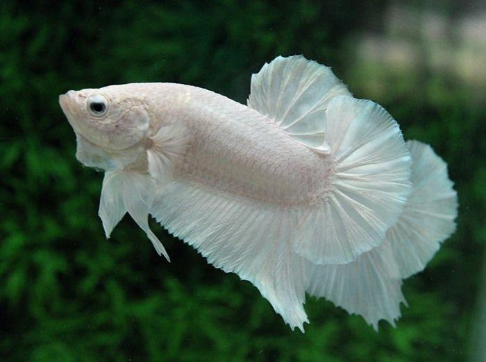 Thấy cá trắng trong mơ giúp chủ nhân dễ dàng đạt được mục tiêu đề ra sắp tới