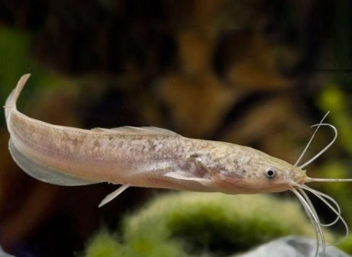 Khi chiêm bao thấy cá trê, điều đó thường thể hiện những điềm báo không được may mắn