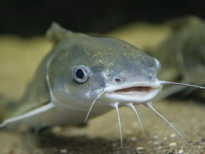 Đàn ông mơ thấy cá trê thì đánh con 13