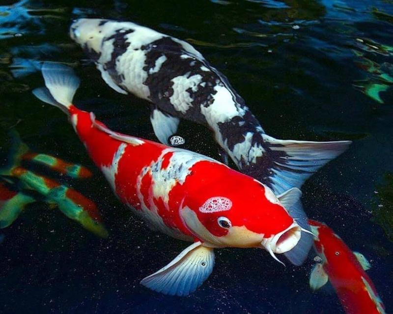 Mơ thấy cá Koi như báo hiệu những điều thuận buồm xuôi gió