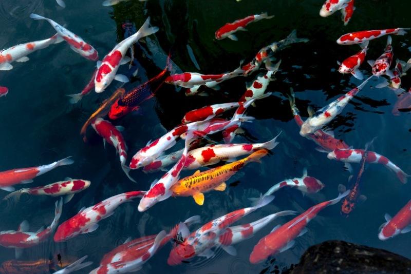 Mộng thấy cá Koi chết