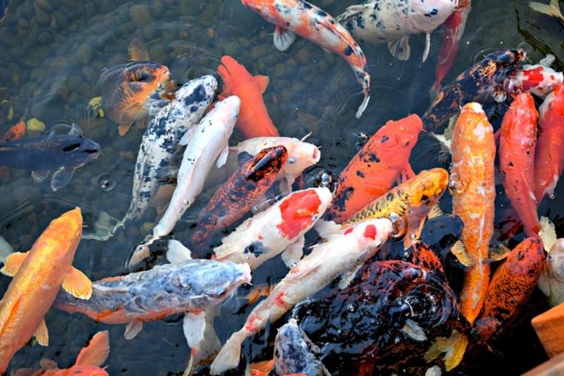 Mơ thấy ăn thịt cá Koi