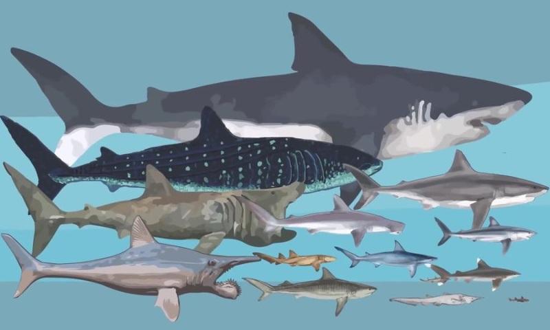 Cá mập là loài vật sinh sống ở nước mặn