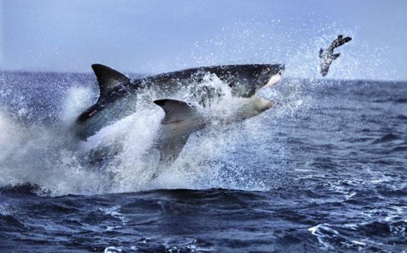 Nằm mơ thấy người khác ăn thịt cá mập có mào đánh số 15 - 99