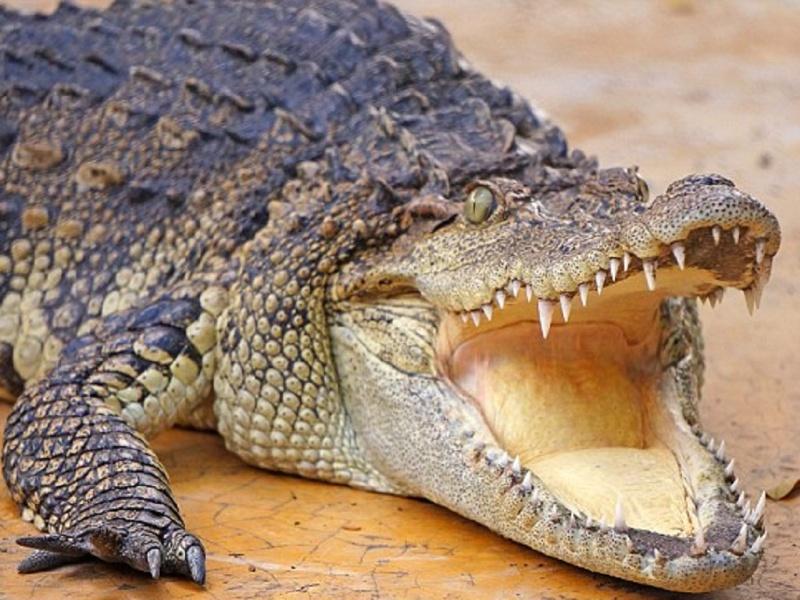 Mơ thấy cá sấu mang đến cho chúng ta những điềm báo có liên quan đến công việc, cuộc sống hay chuyện tình cảm