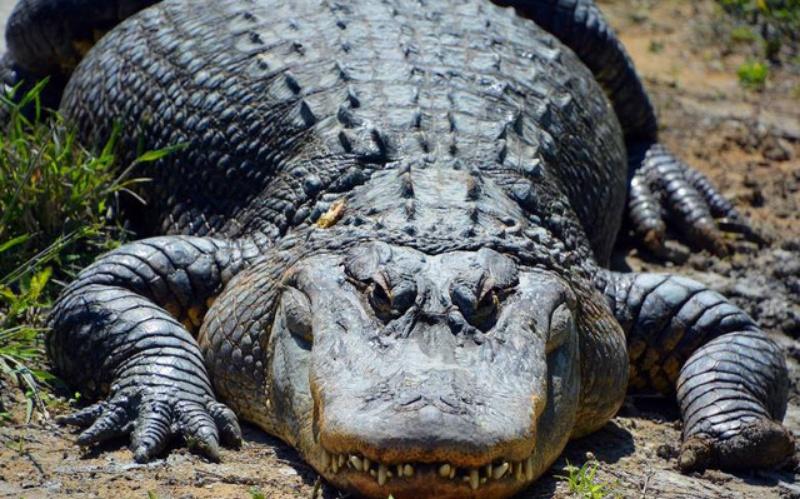 Mộng thấy cá sấu chết