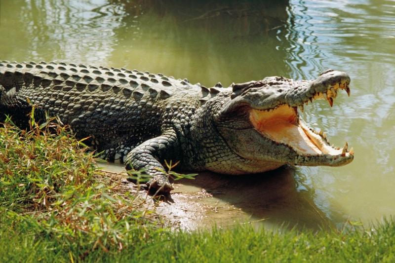 Nằm mơ thấy mình bị cá sấu tấn công hãy thử vận may với cặp số đề 21 - 69.