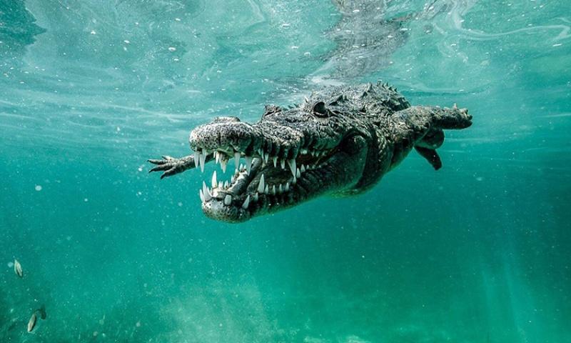 Mơ thấy cá sấu khổng lồ chốt nhanh các số 09 - 99